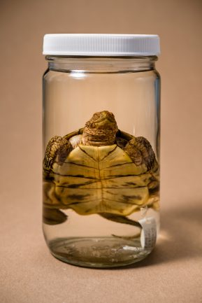 Turtle suspended in glass jar